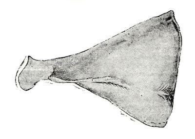 Η σπάλα (σκίτσο Boicescu / G. Eckert)