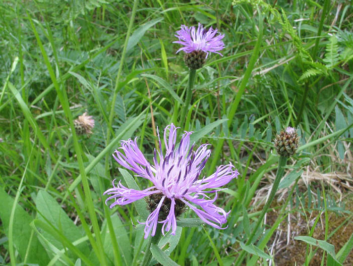 Centaurea vlachorum, photo: www.ntua.gr